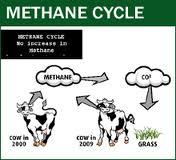 methane cow